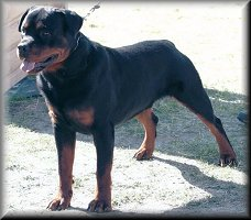 Jenecks Hank, male rottweiler