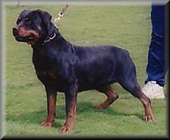 Jenecks Olfa, rottweiler female