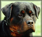 Jeneck's Flash, rottweiler stud dogs