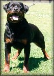 Jenecks Gitta, rottweiler female