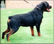 Jenecks Timm, male rottweiler