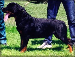 Jenecks Tina, female rottweiler