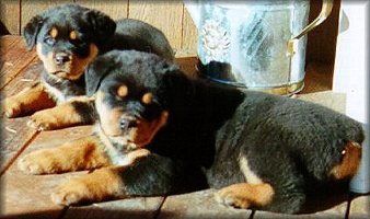 Rottweiler Youth Dogs